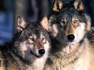 JLM-wolves-(1024x768)